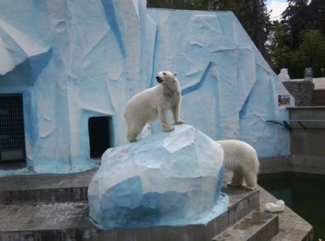 У белых медведей